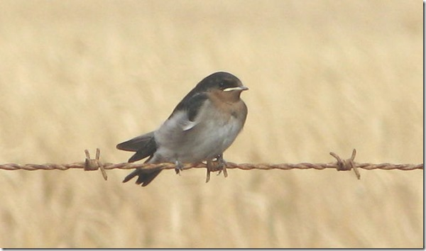 swallow_welcome_20061114_002