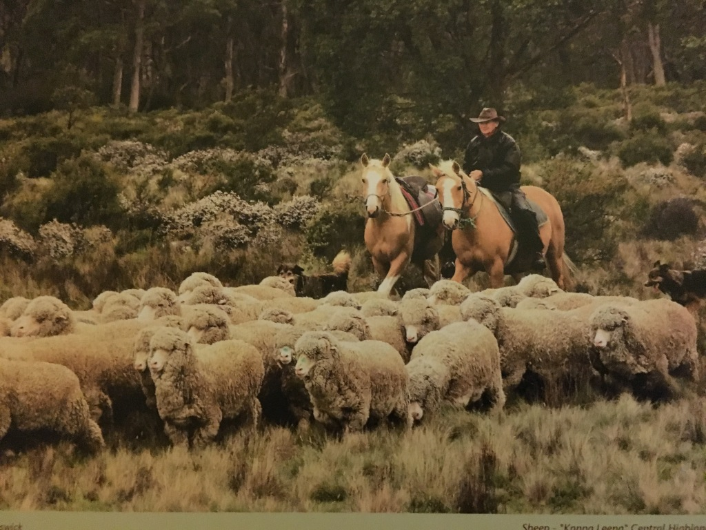 Droving the mob of sheep with the help of the dogs. Set in the Highlands of Tasmania.